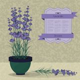 Lavender in a pot on the abstract background. Lavender in a pot, violet card and ribbon on the abstract background Stock Images