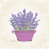 Lavender in the pot Royalty Free Stock Images