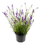 Lavender in pot isolated on white Royalty Free Stock Photography