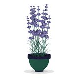 Lavender in a pot isolated on white background Stock Image