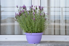 Lavender pot plant. Outside the window sill royalty free stock images