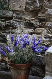 Lavender in a pot Royalty Free Stock Photo