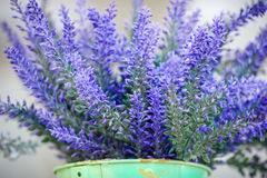 Lavender in the pot Royalty Free Stock Photography