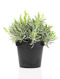Lavender in a pot. On white background stock photos