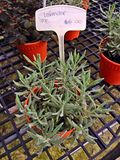 Lavender - potted plant. Lavender growing in a pot on a plant nursery for royalty free stock photography