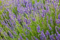 Lavender, precious ornamental plants. Lavender, precious ornamental plants, wild with lilac flowers, bluish, blue. Aroma and delicious perfumes royalty free stock photo