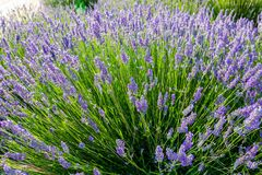 Lavender, precious ornamental plants. Lavender, precious ornamental plants, wild with lilac flowers, bluish, blue. Aroma and delicious perfumes royalty free stock images