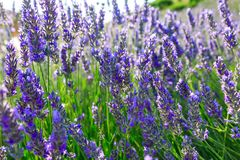 Lavender, precious ornamental plants. Wild with lilac flowers, bluish, blue. Aroma and delicious perfumes royalty free stock image