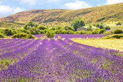 Lavender in Provence Royalty Free Stock Photography