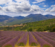 Lavender in Provence Stock Photos