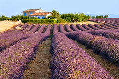 Lavender in Provence Stock Photography