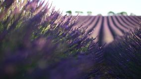 Lavender in Provence, France stock video