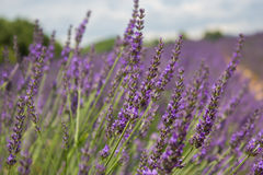 Lavender provence - france. Lavender field in Provence, many bees on flowers Royalty Free Stock Images