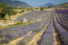 Lavender Provence France Royalty Free Stock Photo