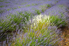 Lavender Provence France Royalty Free Stock Image