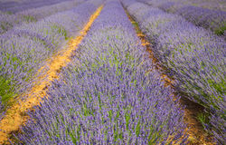 Lavender Provence France Royalty Free Stock Photos