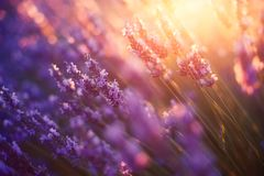 Lavender in Provence, France Royalty Free Stock Photo