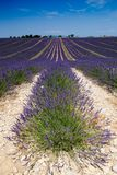 Lavender in provence. High plateau of valensole Stock Images