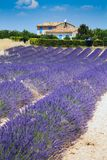 Lavender in provence. High plateau of valensole Stock Photos