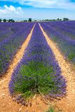 Lavender in provence. High plateau of valensole Royalty Free Stock Photos