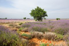 Lavender in Provence. A lavender in Provence Valensole France on summer product for fragrant royalty free stock photography