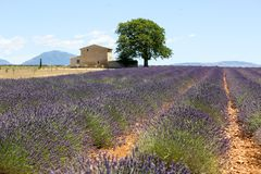 Lavender in Provence. A lavender in Provence Valensole France on summer product for fragrant stock image