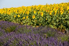 Lavender in Provence. A lavender in Provence Valensole France on summer product for fragrant royalty free stock image