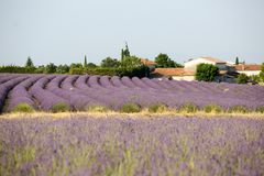 Lavender in Provence. A lavender in Provence Valensole France on summer product for fragrant stock images