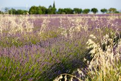 Lavender in Provence. A lavender in Provence Valensole France on summer product for fragrant royalty free stock photos