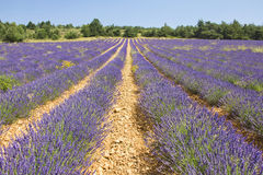 Lavender in Provence, Provence Royalty Free Stock Photography
