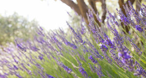 Lavender. In Provence, Southern France Stock Images