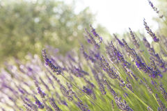 Lavender. In Provence, Southern France stock photography