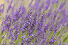 Lavender. In Provence, Southern France royalty free stock image