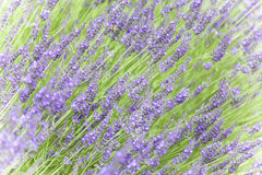 Lavender. In Provence, Southern France royalty free stock images