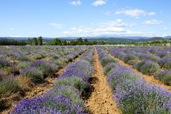 Lavender in Provence. A lavender in Provence Valensole France on summer product for fragrant royalty free stock images