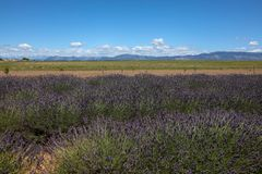 Lavender in Provence. A lavender in Provence Valensole France on summer product for fragrant stock photography