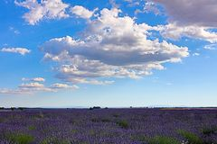 Lavender in Provence. A lavender in Provence Valensole France on summer product for fragrant stock photos