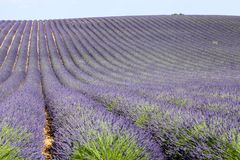 Lavender in Provence. A lavender in Provence Valensole France on summer product for fragrant royalty free stock photo