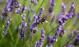 Lavender in Provence. A lavender in Provence Valensole France on summer product for fragrant stock photo