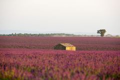 Lavender in Provence stock images