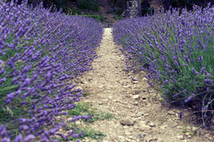 Lavender in Provence Stock Image