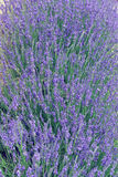 Lavender in Provence Royalty Free Stock Photos