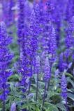 Lavender. Purple farm  fresh  green  beautiful flower nature  organic  raw  vegan  yummy  plant  garden smell Stock Photo