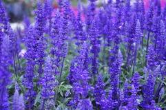 Lavender. Purple farm  fresh  green  beautiful flower nature  organic  raw  vegan  yummy  plant  garden smell Royalty Free Stock Photo