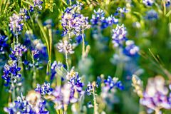 Lavender purple flower blooming on side road in texas at sunset Stock Images