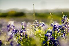 Lavender purple flower blooming on side road in texas at sunset Royalty Free Stock Images