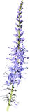 Lavender purple flower Stock Image