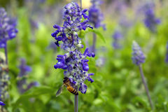 Lavender purple flowers with bee, blurred background.  Royalty Free Stock Image