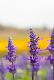 Lavender. Purple lavender flowers in nature fields Royalty Free Stock Photo