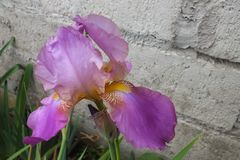 Lavender and Purple Iris Against Gray Brick Wall Stock Photo